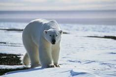 Polar Bear #Greenland