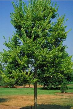 Hackberry is one of the toughest trees available and is one of few native Illinois specimen trees. A good choice for attracting wildlife, the Native Hackberry is also one of the fastest growing trees we have available. The beautiful textured bark adds interest to the landscape, as well as damage protection. Hackberry is always a safe bet and is a must for places where tough growing conditions exist.
