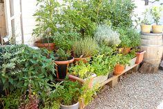 Garden herbs as mosquito repellent
