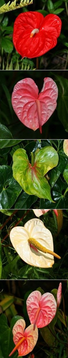 Anthurium..Difficult for beginners. Flowers from spring right through to fall.A tropical plant.