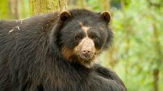 Andean Bear | San Diego Zoo