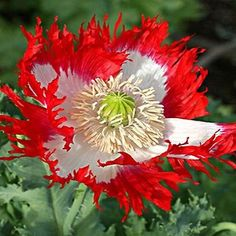 Poppy Danish Flag (Papaver Somniferum Danish Flag) - Start Poppy seeds for this showy annual with intensely rich red petals. The petals are frilly and feathered adding greater appeal, and its center h