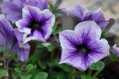 petunia-colorful, trailing. Hummingbirds are attracted to the red ones..