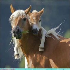 Haflinger and foal