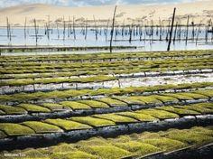 Évoquant des villages lacustres, les parcs à huîtres se dévoilent à marée basse. Connus sous l'appellation « Crue du banc d'Arguin », les mollusques y croissent lentement, profitant des qualités d'un terroir qui leur donne une saveur et une texture particulières.