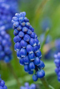 Blue flowers of muscari azureum