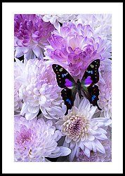 Black And Purple Butterfly On Mums Framed Print by Garry Gay