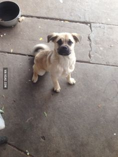 This is the outcome of a male German Shepard and a Female Pug. A Pugard