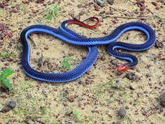 Snakes: Racer Snake...beautiful!!
