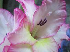 Raccontare un paese: i miei fiori: gladioli (3 foto