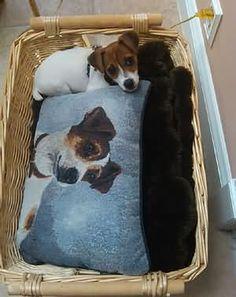 Jack Russell Terrier: Fun: Gallery Meillä on sama tyyny! Rat Terriers, Terrier Dogs, Cute Puppies, Cute Dogs, Jack Russell Dogs, Parson Russell Terrier, Jack Russells, Beautiful Dogs, Dog Friends