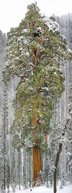 3th largest tree in the world, California USA
