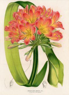 """Imantophyllum Miniatum - From """"Flore des Serres"""" by Louis van Houtte, 1858"""