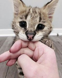 Those eyes omg - your daily dose of funny cats - cute kittens - pet memes - pets in clothes - kitty breeds - sweet animal pictures - perfect photos for cat moms Cute Kittens, Cats And Kittens, Animals And Pets, Baby Animals, Funny Animals, Cute Animals, Bizarre Animals, Funny Cats, I Love Cats