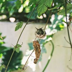I have yet to find an old hummingbird nest...would be a little dream come true.