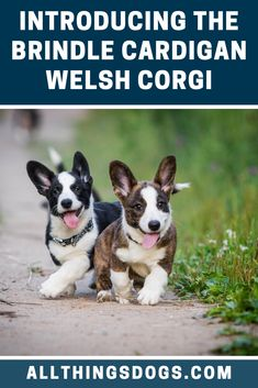 The lesser known of the two Corgi breeds, the Cardigan Welsh Corgi is a devoted pet. The brindle Cardigan Welsh Corgi would be a great match for anyone looking for a pet they could compete at canine sports. Read on to find out more about this rare dog. Alpha Dog Training, Best Dog Training, Training Tips, Corgi Clothes, Corgi Mix Breeds, Puppy Training Classes, Rare Dogs, Cardigan Welsh Corgi, Tejido