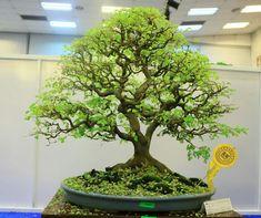 Plants, Ficus Bonsai Tree, Fairy Garden, Ficus, Miniature Trees, Tropical Tree, Farm Gardens, Compost, Water Garden