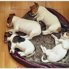 Can I have all four of these sweet Jack Russell Terrier puppies?