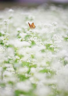 Meadow ~Butterfly