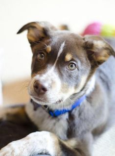 Moose is part Australian shepherd, part border collie, and part Australian cattle dog creating just a beautiful dog.