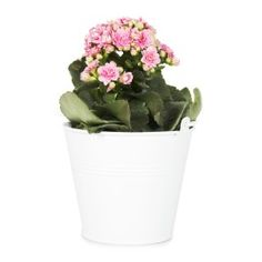 Calandiva Novelty in Pot - Woolworths Potted Plants, Planting Flowers, Planter Pots, Bucket, Day, Gifts, Cottage, Home Decor, Pot Plants