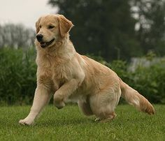 What a GORGEOUS Golden!!!  Levi - Kulalani's Best In Show -