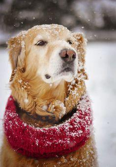 My golden retriever in the spring snow. Everybody Loves Willie