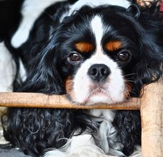 Cavalier King Charles Spaniel, Affectionate and Graceful. Spaniel Puppies, Cocker Spaniel, I Love Dogs, Cute Dogs, Cavalier King Charles Spaniel, Mundo Animal, Little Dogs, Beautiful Dogs, Cute Animals