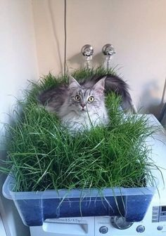 If you love your cat, it's a good idea to make an indoor cat garden for her. Just follow this step by step guide to do this! #indoorgardenideas