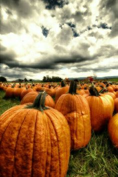 A lovely Patch of Pumpkins