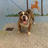 Pictures of URGENT on 1/9 SAN BERNARDINO a English Bulldog for adoption in San Bernardino, CA who needs a loving home.