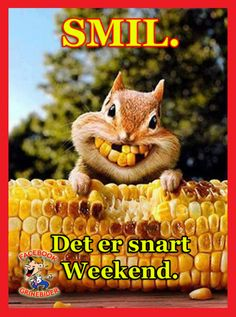 Corny squirrel bright smiles for Thanksgiving Funny Animal Pictures, Funny Animals, Cute Animals, Baby Animals, Animal Pics, Squirrel Pictures, Smiling Animals, Dental Humor, Seriously Funny