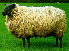 Breeds of Livestock - Bleu du Maine Sheep — Breeds of Livestock, Department of Animal Science