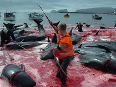 A Massive Whale Hunt On The Faroe Islands Turns The Sea Red Every Summer