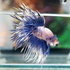 Betta-Male-BIG-ONE-Fancy-Marbled-White-Blue-MARBLED-EARS-Crowntail
