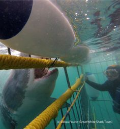 Experience White Shark Cage Diving In Cape Town.
