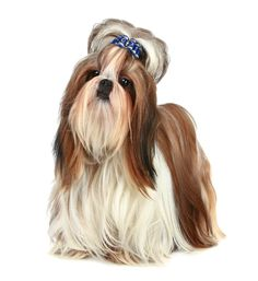Shih Tzu puppies for sale! Get matched with a pupper from a responsible Shih Tzu breeder near you. Shih Tzu Hund, Shih Tzu Breeders, Shih Tzu Puppy, Shih Tzus, Small Dogs For Sale, Puppies For Sale, Toy Dog Breeds, Small Dog Breeds, Pekinese