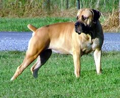 Boerboel - my Hondo! Cute Puppies, Dogs And Puppies, Doggies, Rare Dog Breeds, Mastiff Puppies, Real Dog, Kinds Of Dogs, Big Dogs, Mans Best Friend