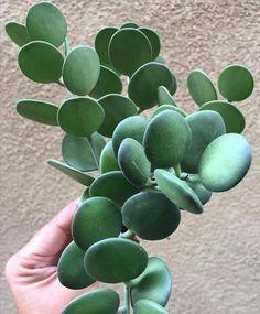 Amazing Unusual Plants To Grow In Your Garden Cacti And Succulents, Planting Succulents, Garden Plants, Indoor Plants, Planting Flowers, Succulent Pots, Cactus Plante, Hoya Plants, Unusual Plants