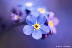 Forget-Me-Not, Flower, VanDusen Botanical Garden, Nikon D60, Nikon 105mm Macro.