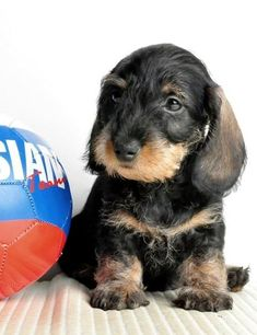 adorable wirehaired dachshund puppy