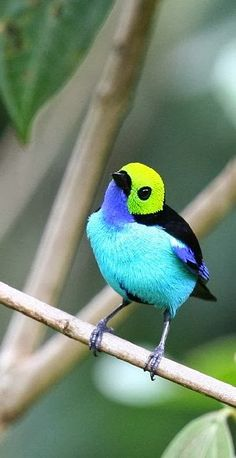 """Paradise Tanager (Tangara chilensis). [""""Fresh+and+Colorful+in+Sunday+Morning.jpg (341×662).""""]"""