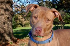 Macy is an adoptable pit bull terrier searching for a forever family near Allentown, PA. Use Petfinder to find adoptable pets in your area.