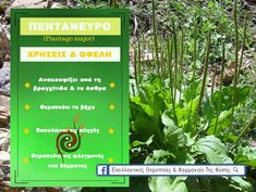 Plantain Herb Uses and Health Benefits Common Plantain Benefits and Uses - ©The Herbal Resource Best Cough Remedy, Cough Remedies, Herbal Remedies, Health Remedies, Natural Remedies, Plantain Benefits, Plantain Herb, Healing Herbs, Medicinal Plants