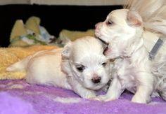 Adorable Paws / B-Wurf Malteser Welpen, 17.12.2014, 4 Wochen alt, Züchter Daniela Krüger