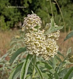 This Milkweed variety, Asclepias eriocarpa is drought tolerant and a major source of nectar for Monarchs.
