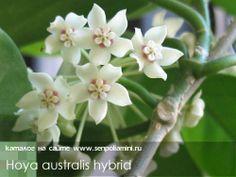Hoya_australis_hybrid.jpg (500×376)