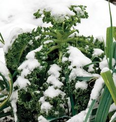 Plant Winter Blend Kale Seeds in your organic vegetable garden for winter harvest vegetables even after frost. Learn when to plant kale seeds here.