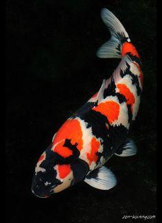 Koi on pinterest carp butterfly koi and koi ponds for Black koi for sale