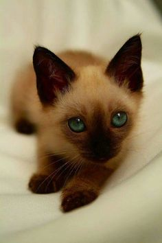 Good Photo siamese cats mix Ideas Siamese kittens and cats might be best known . : Good Photo siamese cats mix Ideas Siamese kittens and cats might be best known … , Siamese Kittens, Cute Cats And Kittens, I Love Cats, Crazy Cats, Kittens Cutest, Tabby Cats, Funny Kittens, Bengal Cats, Pretty Cats